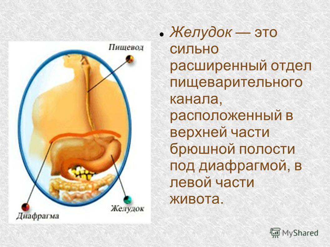 Желудок это сильно расширенный отдел пищеварительного канала, расположенный в верхней части брюшной полости под диафрагмой, в левой части живота.