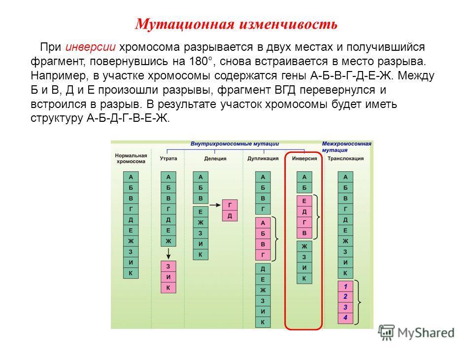 При инверсии хромосома разрывается в двух местах и получившийся фрагмент, повернувшись на 180°, снова встраивается в место разрыва. Например, в участке хромосомы содержатся гены А-Б-В-Г-Д-Е-Ж. Между Б и В, Д и Е произошли разрывы, фрагмент ВГД переве