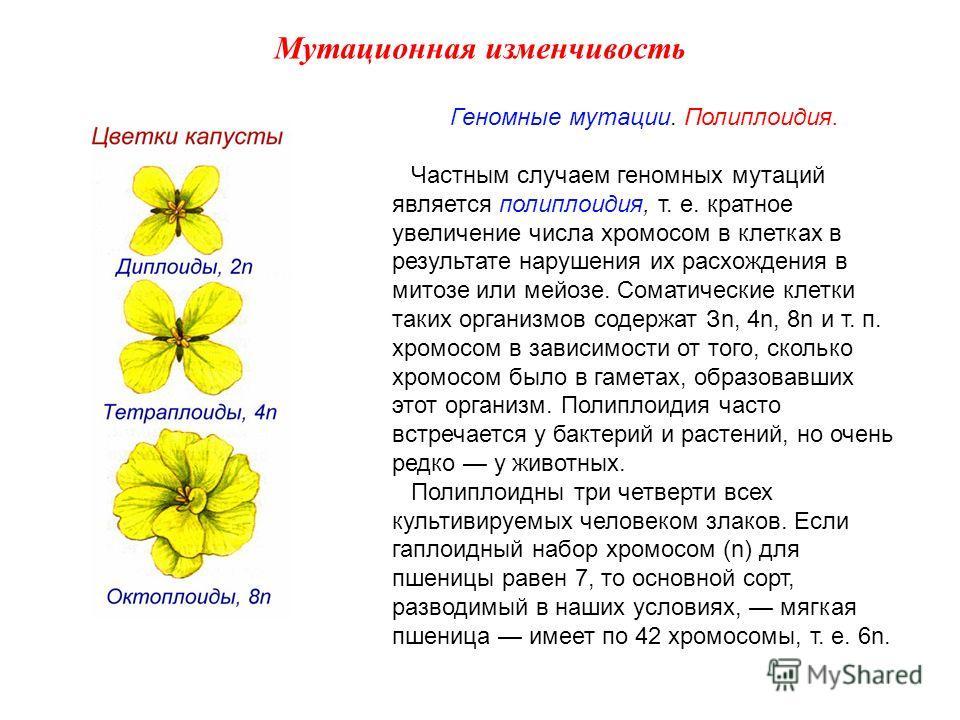 Геномные мутации. Полиплоидия. Частным случаем геномных мутаций является полиплоидия, т. е. кратное увеличение числа хромосом в клетках в результате нарушения их расхождения в митозе или мейозе. Соматические клетки таких организмов содержат Зn, 4n, 8