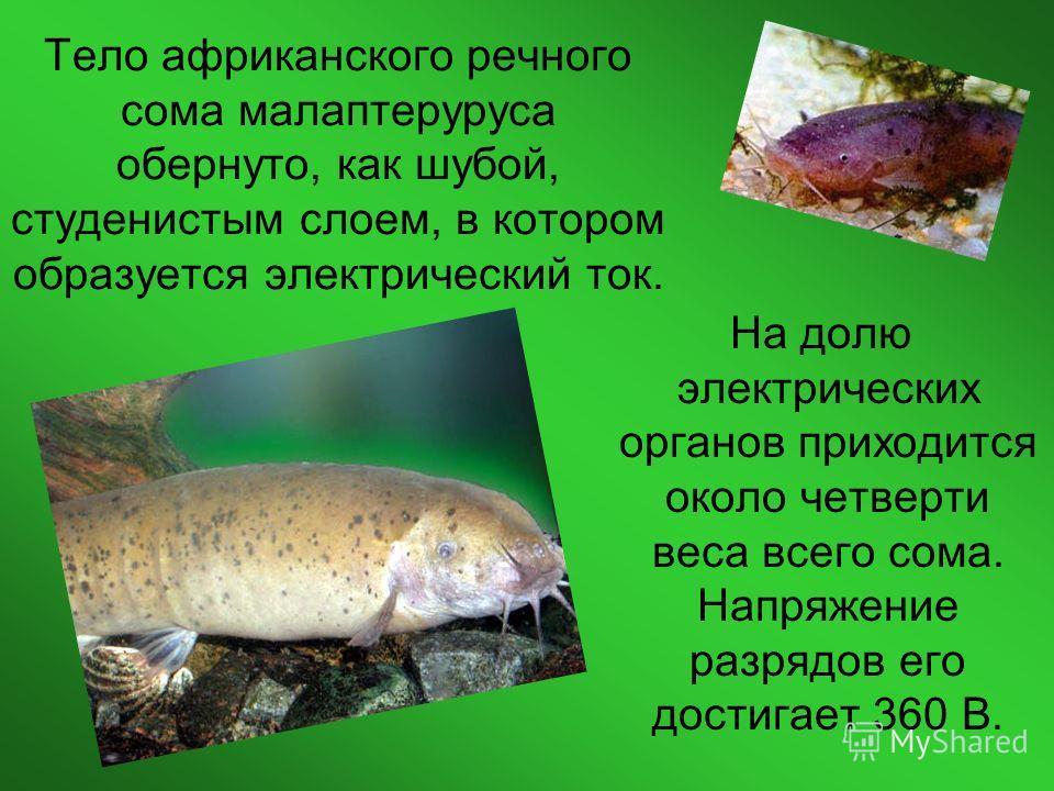 Тело африканского речного сома малаптеруруса обернуто, как шубой, студенистым слоем, в котором образуется электрический ток. На долю электрических органов приходится около четверти веса всего сома. Напряжение разрядов его достигает 360 В.