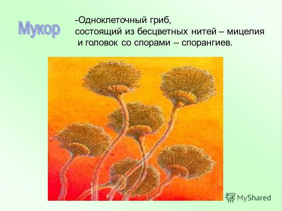 -Одноклеточный гриб, состоящий из бесцветных нитей – мицелия и головок со спорами – спорангиев.