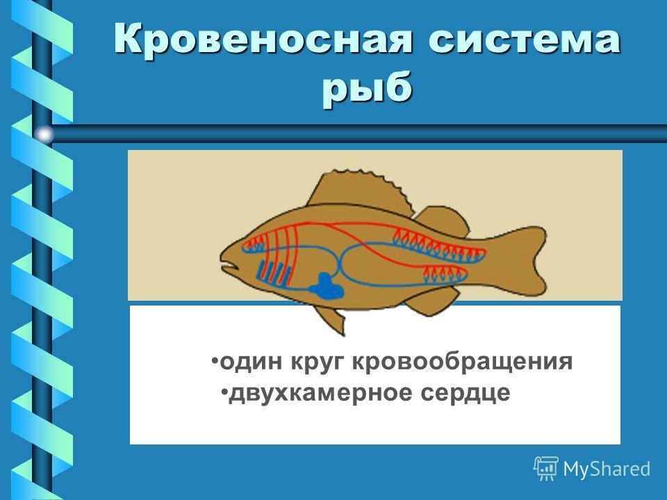 Кровеносная система рыб один круг кровообращения двухкамерное сердце