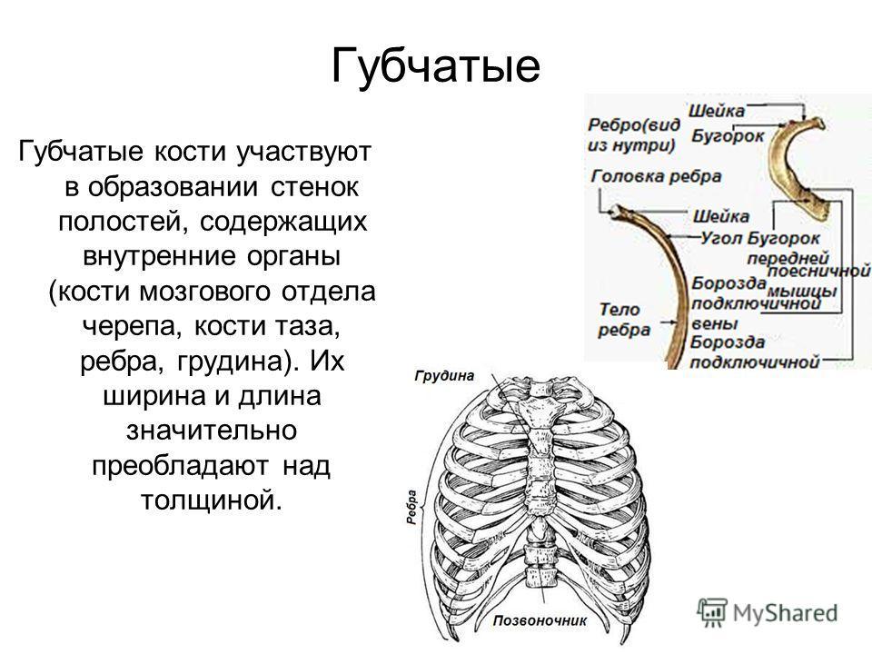 Губчатые Губчатые кости участвуют в образовании стенок полостей, содержащих внутренние органы (кости мозгового отдела черепа, кости таза, ребра, грудина). Их ширина и длина значительно преобладают над толщиной.