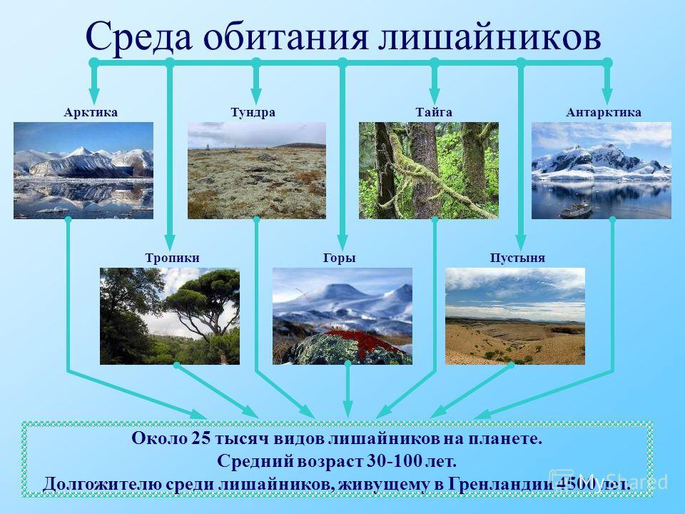 Среда обитания лишайников АрктикаТундраТайгаАнтарктика ПустыняГорыТропики Около 25 тысяч видов лишайников на планете. Средний возраст 30-100 лет. Долгожителю среди лишайников, живущему в Гренландии 4500 лет.