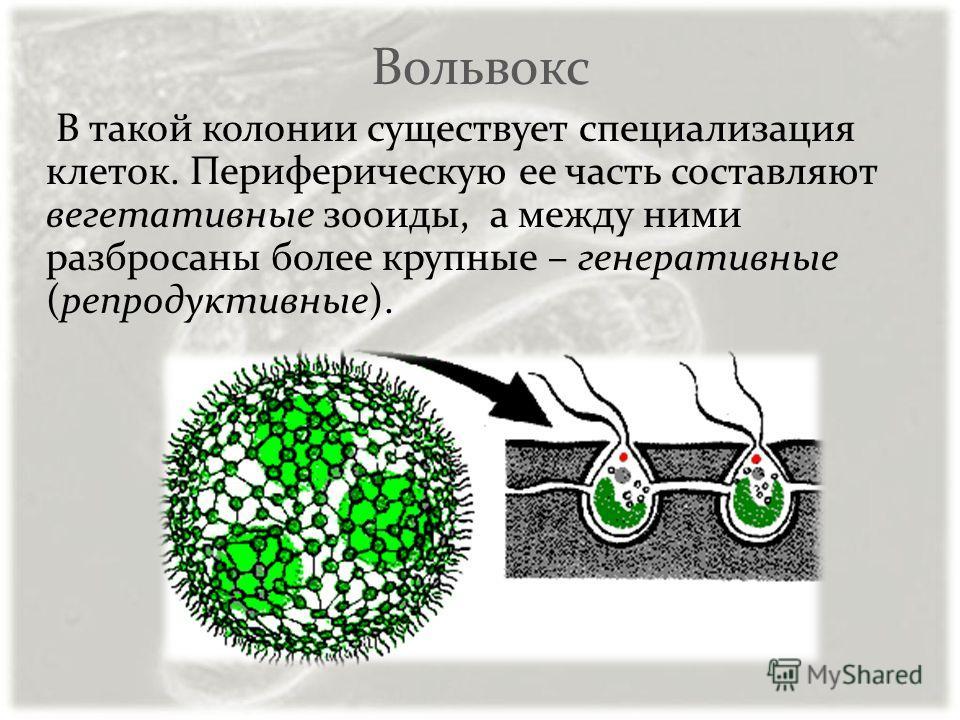 Вольвокс В такой колонии существует специализация клеток. Периферическую ее часть составляют вегетативные зооиды, а между ними разбросаны более крупные – генеративные (репродуктивные).