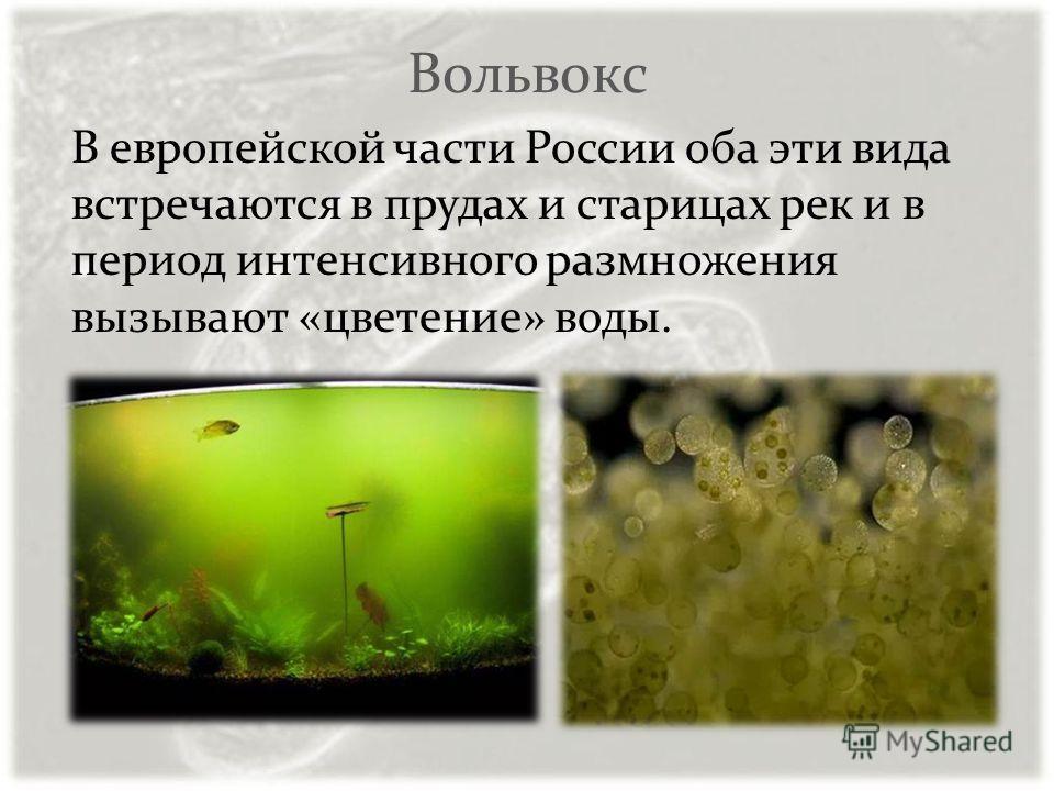 Вольвокс В европейской части России оба эти вида встречаются в прудах и старицах рек и в период интенсивного размножения вызывают «цветение» воды.