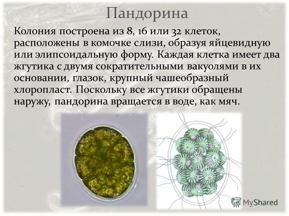Пандорина Колония построена из 8, 16 или 32 клеток, расположены в комочке слизи, образуя яйцевидную или элипсоидальную форму. Каждая клетка имеет два жгутика с двумя сократительными вакуолями в их основании, глазок, крупный чашеобразный хлоропласт. П