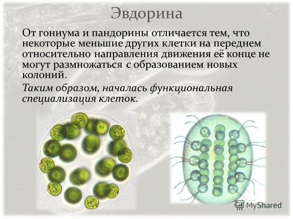 Эвдорина От гониума и пандорины отличается тем, что некоторые меньшие других клетки на переднем относительно направления движения её конце не могут размножаться с образованием новых колоний. Таким образом, началась функциональная специализация клеток