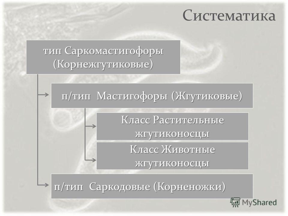 Систематика п/тип Мастигофоры (Жгутиковые) п/тип Саркодовые (Корненожки) тип Саркомастигофоры (Корнежгутиковые) Класс Растительные жгутиконосцы Класс Животные жгутиконосцы