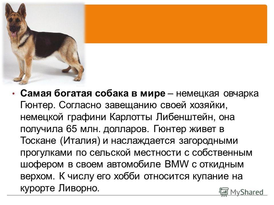 Самая богатая собака в мире – немецкая овчарка Гюнтер. Согласно завещанию своей хозяйки, немецкой графини Карлотты Либенштейн, она получила 65 млн. долларов. Гюнтер живет в Тоскане (Италия) и наслаждается загородными прогулками по сельской местности