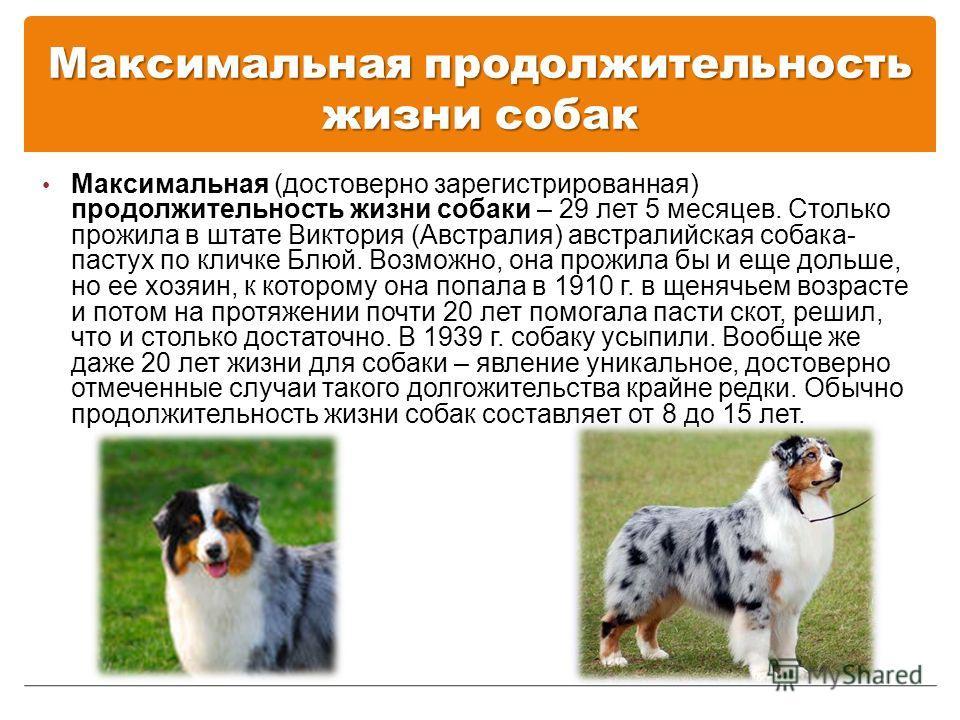 Максимальная продолжительность жизни собак Максимальная (достоверно зарегистрированная) продолжительность жизни собаки – 29 лет 5 месяцев. Столько прожила в штате Виктория (Австралия) австралийская собака- пастух по кличке Блюй. Возможно, она прожила
