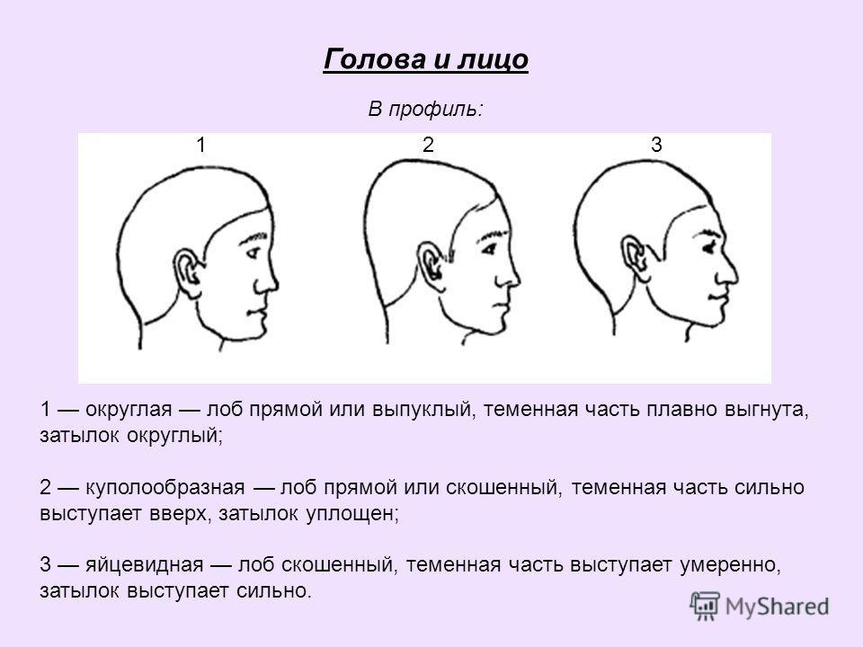 Голова и лицо В профиль: 1 2 3 1 округлая лоб прямой или выпуклый, теменная часть плавно выгнута, затылок округлый; 2 куполообразная лоб прямой или скошенный, теменная часть сильно выступает вверх, затылок уплощен; 3 яйцевидная лоб скошенный, теменна