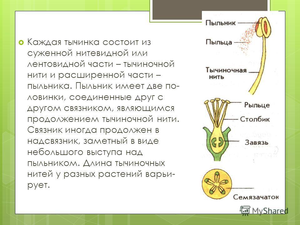 Каждая тычинка состоит из суженной нитевидной или лентовидной части – тычиночной нити и расширенной части – пыльника. Пыльник имеет две по ловинки, соединенные друг с другом связником, являющимся продолжением тычиночной нити. Связник иногда продо