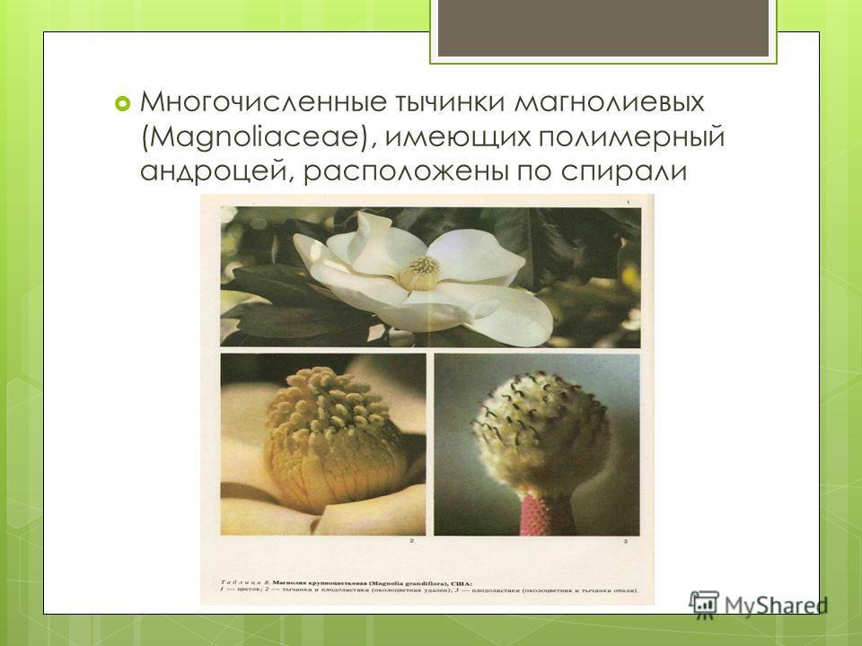 Многочисленные тычинки магнолиевых (Magnoliaceae), имеющих полимерный андроцей, расположены по спирали