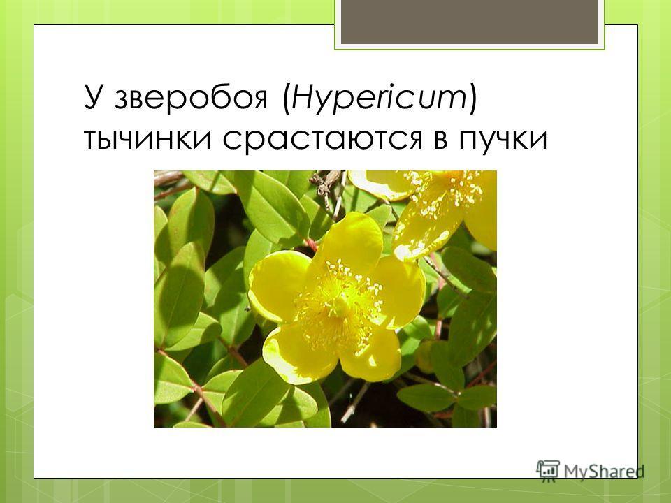 У зверобоя (Hypericum) тычинки срастаются в пучки