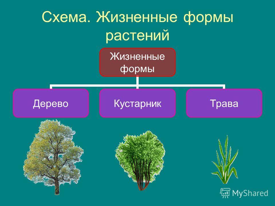 Схема. Жизненные формы растений Жизненные формы ДеревоКустарникТрава