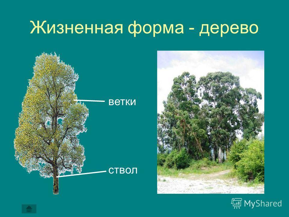 Жизненная форма - дерево ствол ветки