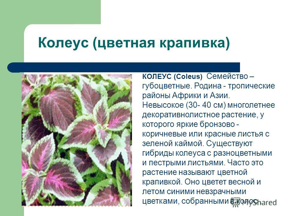 Колеус (цветная крапивка) КОЛЕУС (Coleus) Семейство – губоцветные. Родина - тропические районы Африки и Азии. Невысокое (30- 40 см) многолетнее декоративнолистное растение, у которого яркие бронзово - коричневые или красные листья с зеленой каймой. С