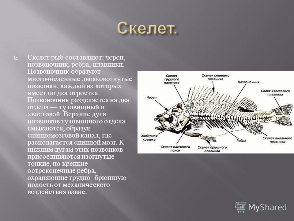 Скелет рыб составляют : череп, позвоночник, ребра, плавники. Позвоночник образуют многочисленные двояковогнутые позвонки, каждый из которых имеет по два отростка. Позвоночник разделяется на два отдела туловищный и хвостовой. Верхние дуги позвонков ту