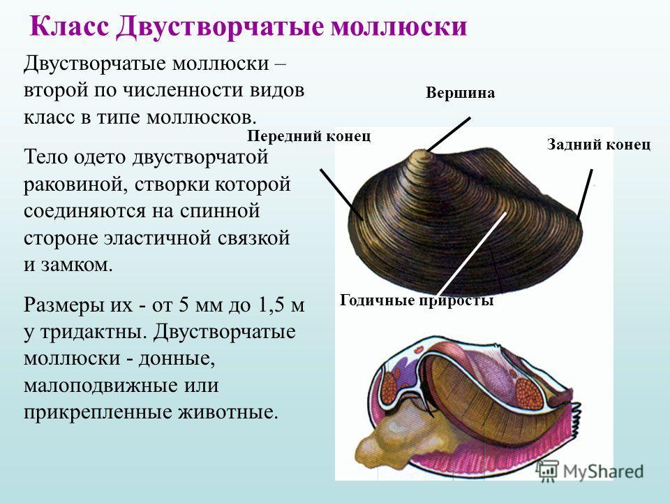 Вершина Задний конец Передний конец Годичные приросты Двустворчатые моллюски – второй по численности видов класс в типе моллюсков. Тело одето двустворчатой раковиной, створки которой соединяются на спинной стороне эластичной связкой и замком. Размеры