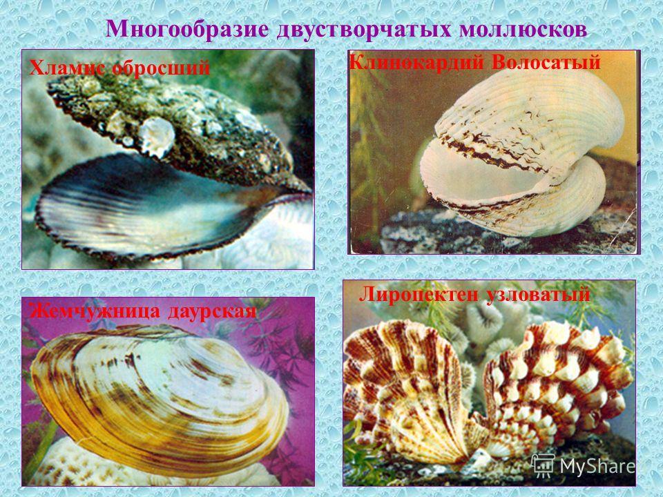 Многообразие двустворчатых моллюсков Жемчужница даурская Хламис обросший Лиропектен узловатый Клинокардий Волосатый
