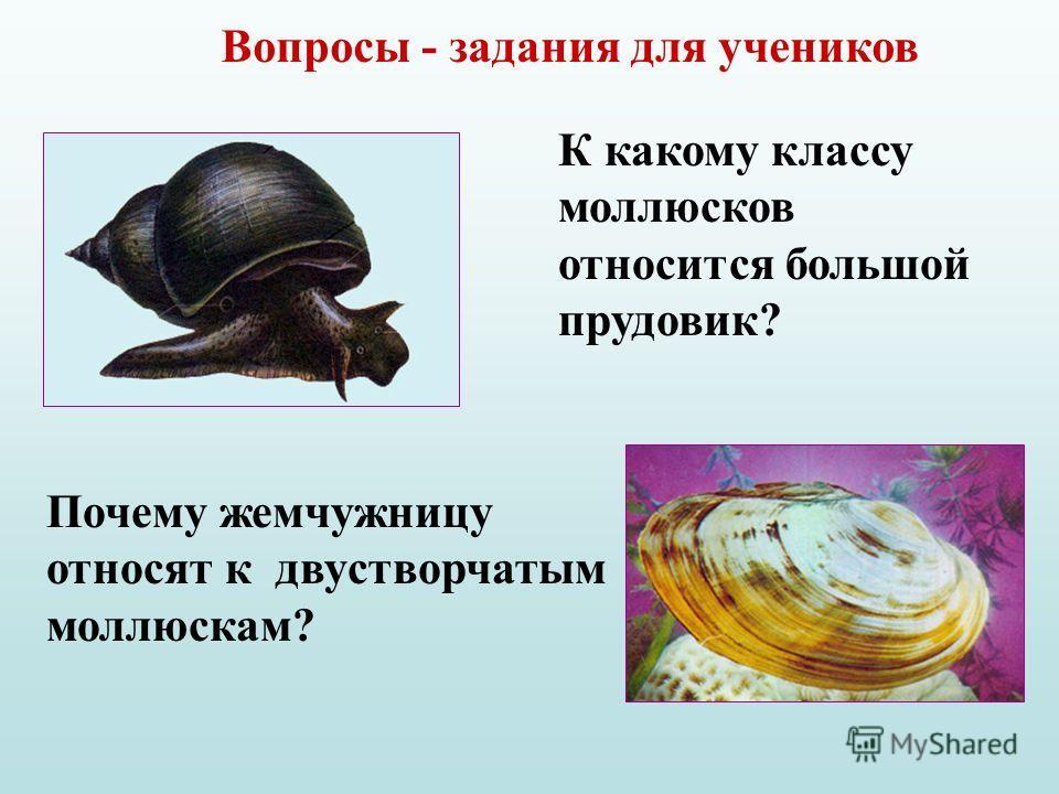 Вопросы - задания для учеников К какому классу моллюсков относится большой прудовик? Почему жемчужницу относят к двустворчатым моллюскам?