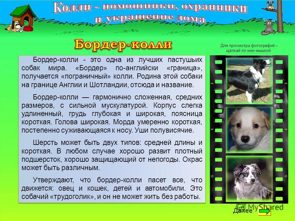 Бордер-колли - это одна из лучших пастушьих собак мира. «Бордер» по-английски «граница», получается «пограничный» колли. Родина этой собаки на границе Англии и Шотландии, отсюда и название. Бордер-колли гармонично сложенная, средних размеров, с сильн