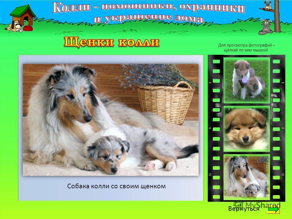 Вернуться Собака колли со своим щенком Для просмотра фотографий – щёлкай по ним мышкой