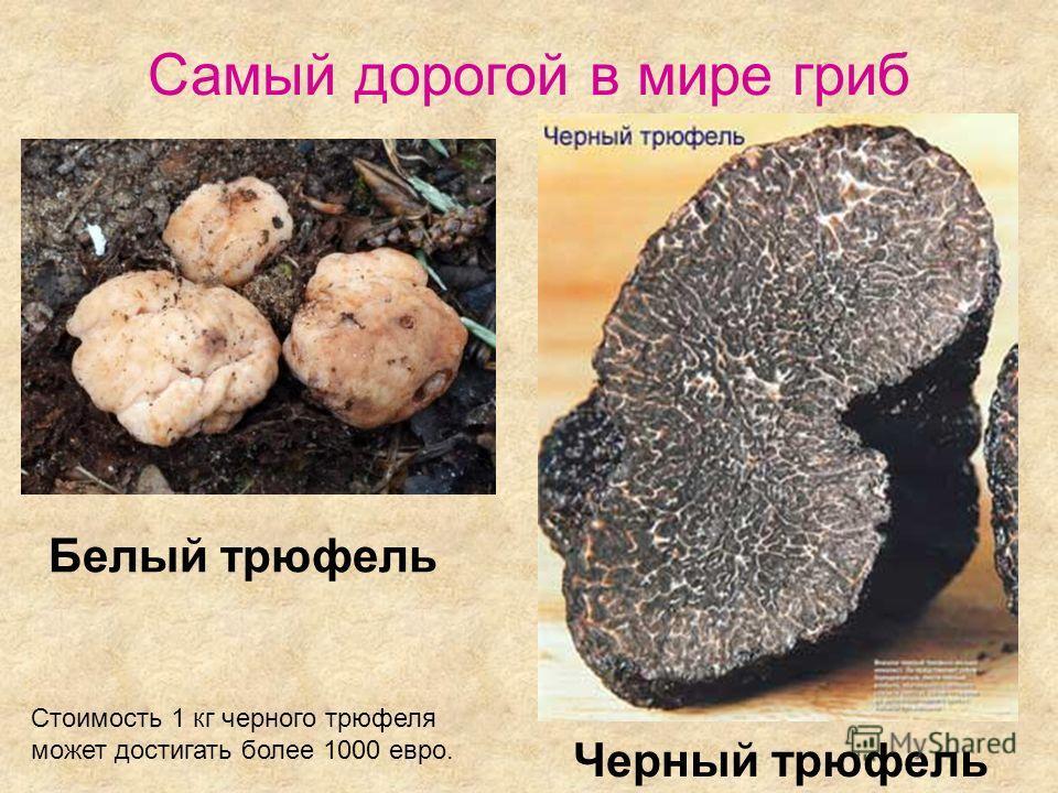 Белый трюфель Черный трюфель Стоимость 1 кг черного трюфеля может достигать более 1000 евро. Самый дорогой в мире гриб