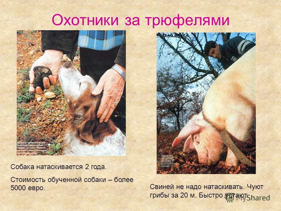 Охотники за трюфелями Свиней не надо натаскивать. Чуют грибы за 20 м. Быстро устают. Собака натаскивается 2 года. Стоимость обученной собаки – более 5000 евро.