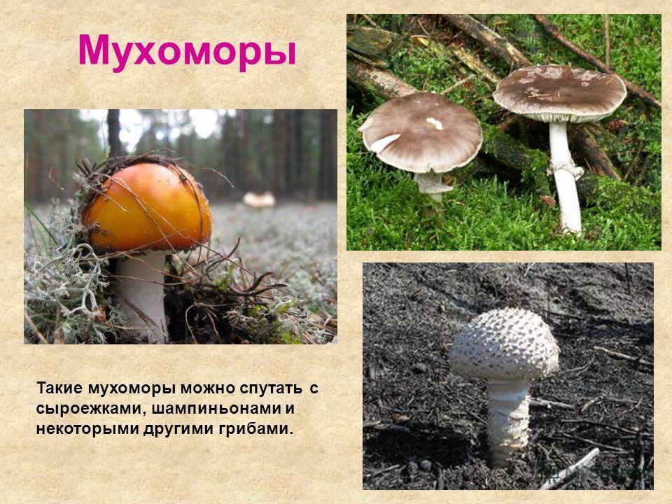 Мухоморы Такие мухоморы можно спутать с сыроежками, шампиньонами и некоторыми другими грибами.