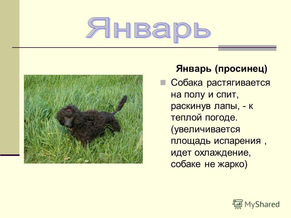 Январь (просинец) Собака растягивается на полу и спит, раскинув лапы, - к теплой погоде. (увеличивается площадь испарения, идет охлаждение, собаке не жарко)