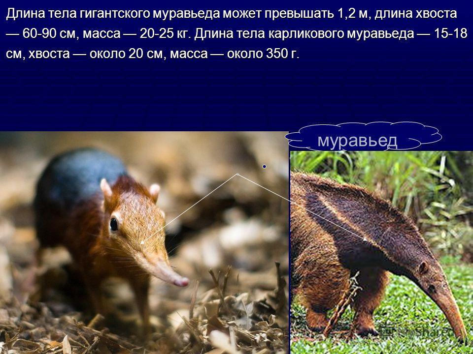 муравьед Длина тела гигантского муравьеда может превышать 1,2 м, длина хвоста 60-90 см, масса 20-25 кг. Длина тела карликового муравьеда 15-18 см, хвоста около 20 см, масса около 350 г. Длина тела гигантского муравьеда может превышать 1,2 м, длина хв