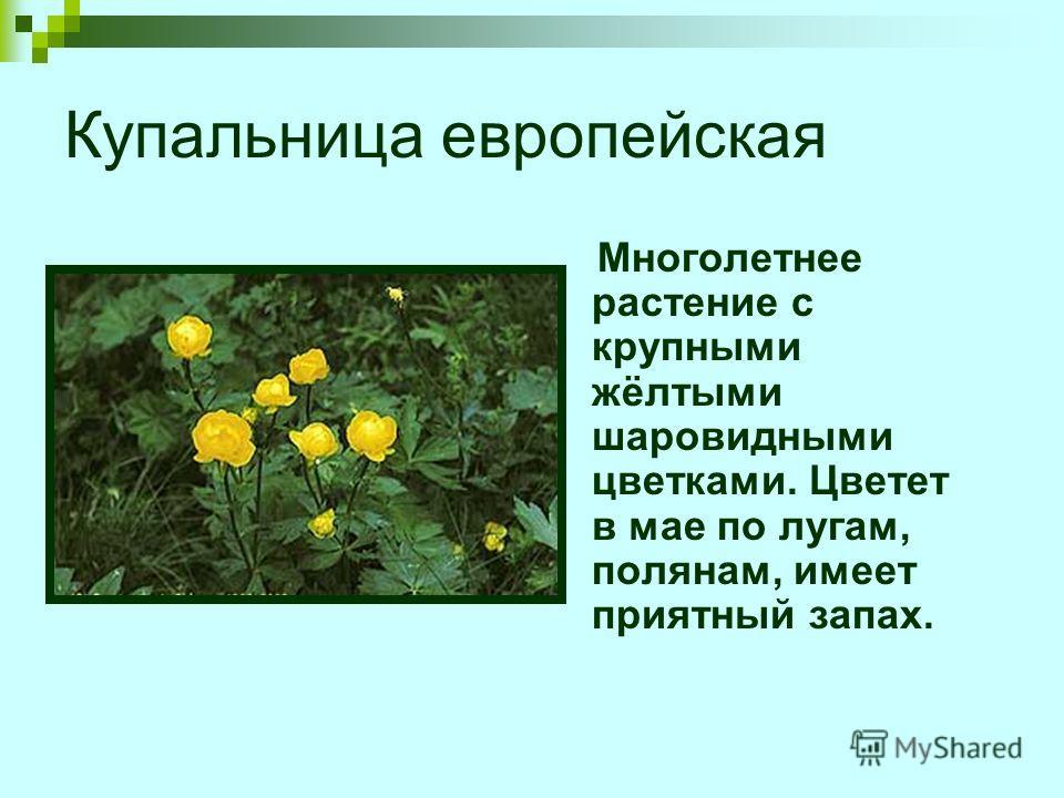 Купальница европейская Многолетнее растение с крупными жёлтыми шаровидными цветками. Цветет в мае по лугам, полянам, имеет приятный запах.
