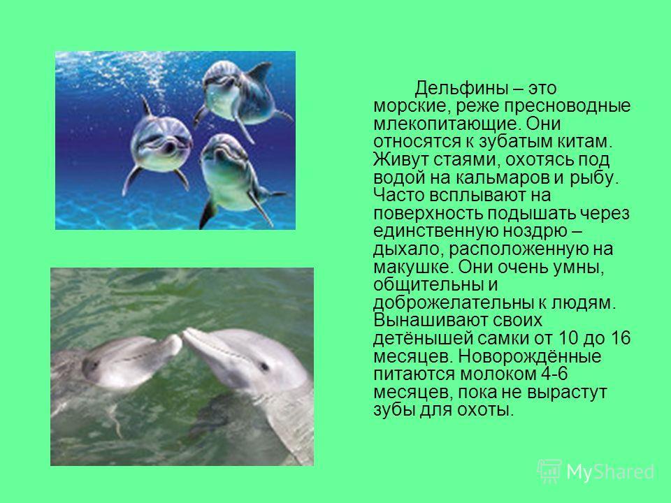 Дельфины – это морские, реже пресноводные млекопитающие. Они относятся к зубатым китам. Живут стаями, охотясь под водой на кальмаров и рыбу. Часто всплывают на поверхность подышать через единственную ноздрю – дыхало, расположенную на макушке. Они оче