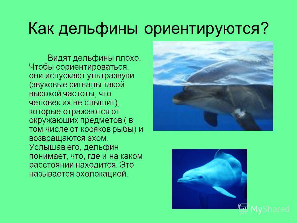 Как дельфины ориентируются? Видят дельфины плохо. Чтобы сориентироваться, они испускают ультразвуки (звуковые сигналы такой высокой частоты, что человек их не слышит), которые отражаются от окружающих предметов ( в том числе от косяков рыбы) и возвра