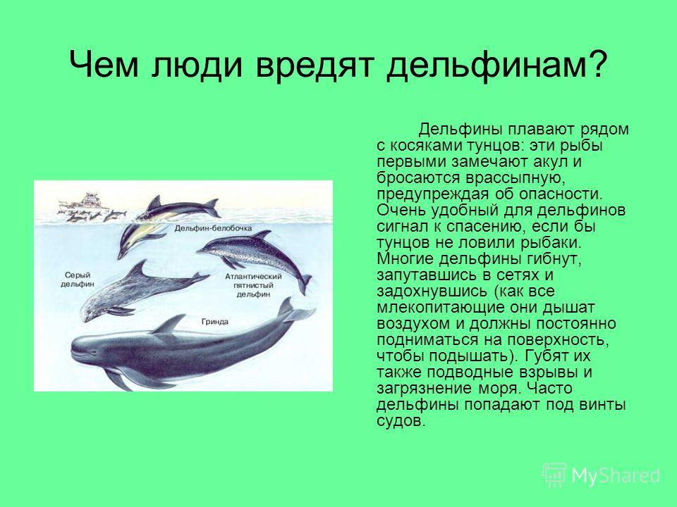 Чем люди вредят дельфинам? Дельфины плавают рядом с косяками тунцов: эти рыбы первыми замечают акул и бросаются врассыпную, предупреждая об опасности. Очень удобный для дельфинов сигнал к спасению, если бы тунцов не ловили рыбаки. Многие дельфины гиб