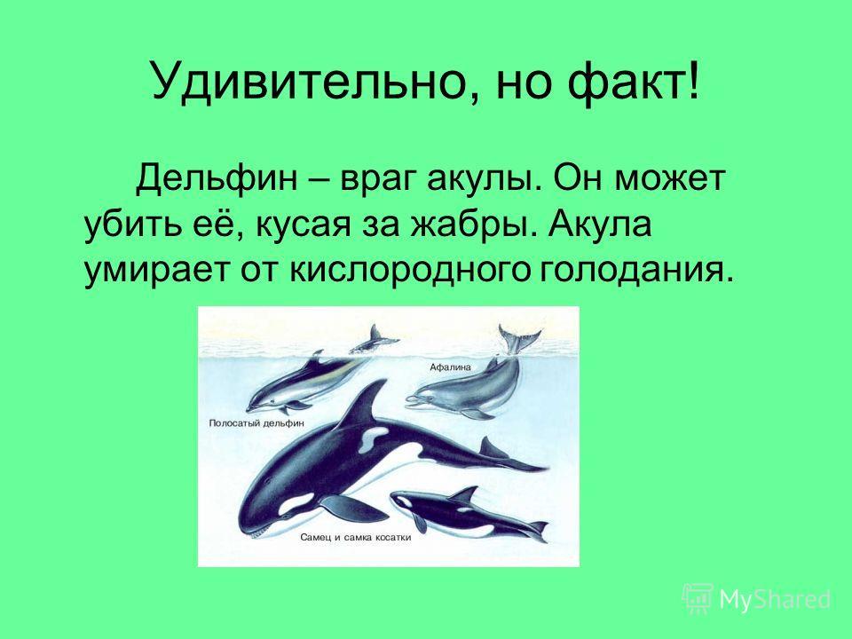 Удивительно, но факт! Дельфин – враг акулы. Он может убить её, кусая за жабры. Акула умирает от кислородного голодания.