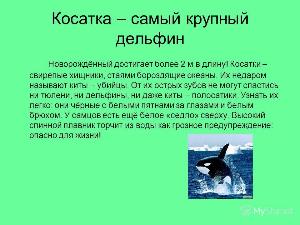 Косатка – самый крупный дельфин Новорождённый достигает более 2 м в длину! Косатки – свирепые хищники, стаями бороздящие океаны. Их недаром называют киты – убийцы. От их острых зубов не могут спастись ни тюлени, ни дельфины, ни даже киты – полосатики