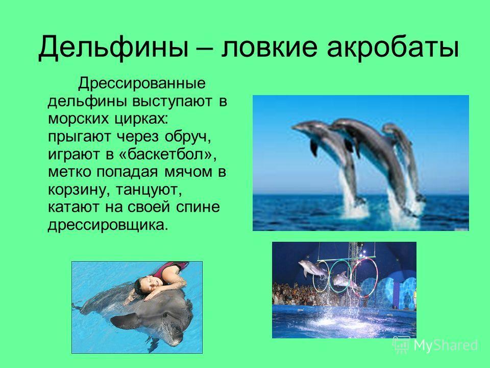 Дельфины – ловкие акробаты Дрессированные дельфины выступают в морских цирках: прыгают через обруч, играют в «баскетбол», метко попадая мячом в корзину, танцуют, катают на своей спине дрессировщика.
