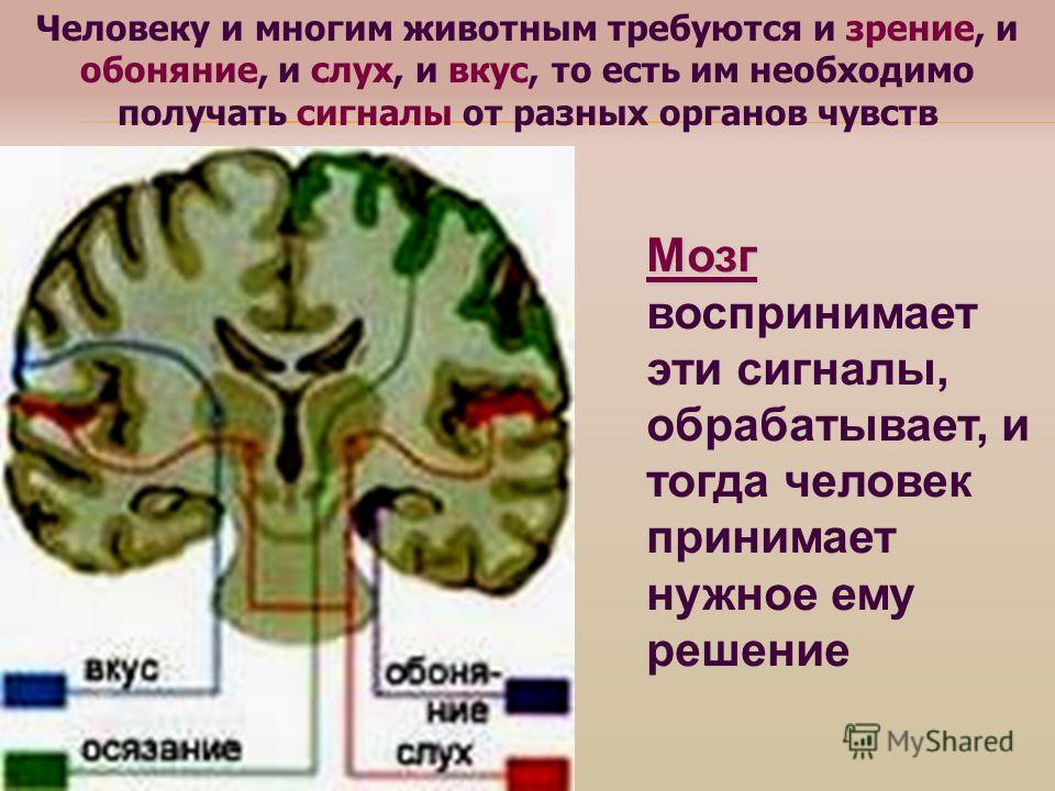 Человеку и многим животным требуются и зрение, и обоняние, и слух, и вкус, то есть им необходимо получать сигналы от разных органов чувств Мозг Мозг воспринимает эти сигналы, обрабатывает, и тогда человек принимает нужное ему решение