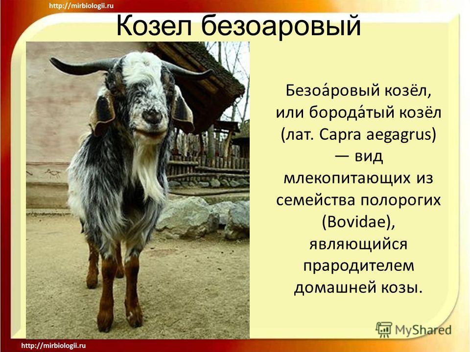 Безоа́ровый козёл, или борода́тый козёл (лат. Capra aegagrus) вид млекопитающих из семейства полорогих (Bovidae), являющийся прародителем домашней козы.