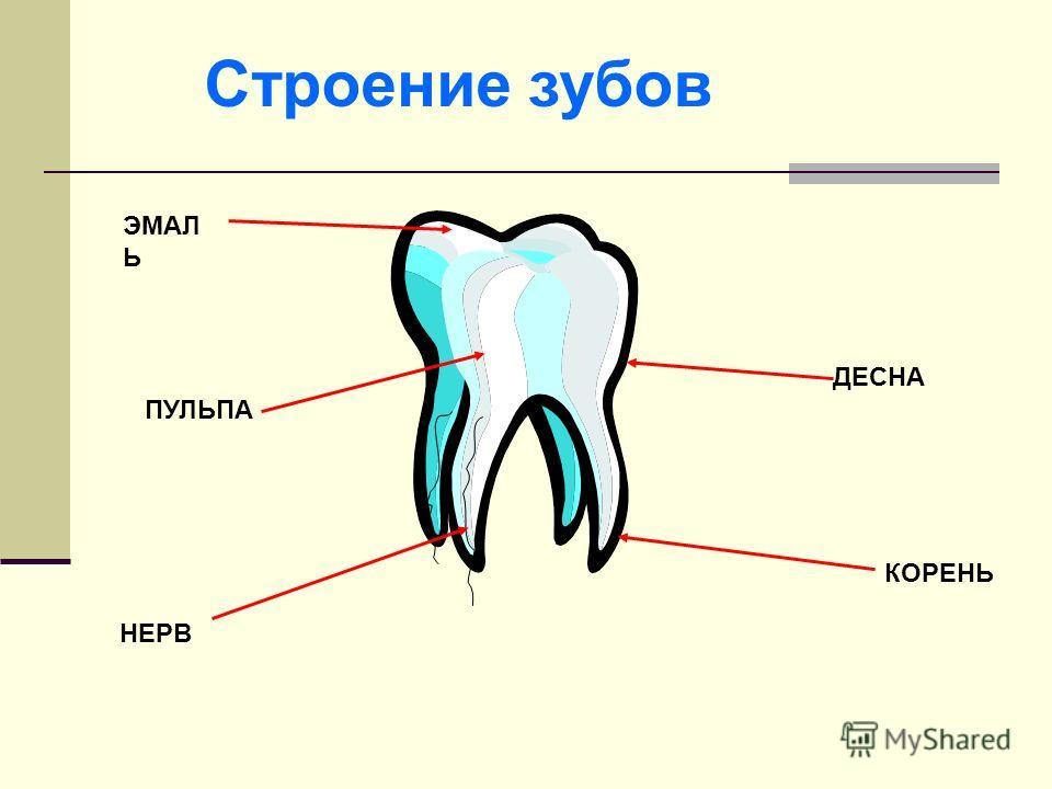 ЭМАЛ Ь КОРЕНЬ ДЕСНА НЕРВ Строение зубов ПУЛЬПА