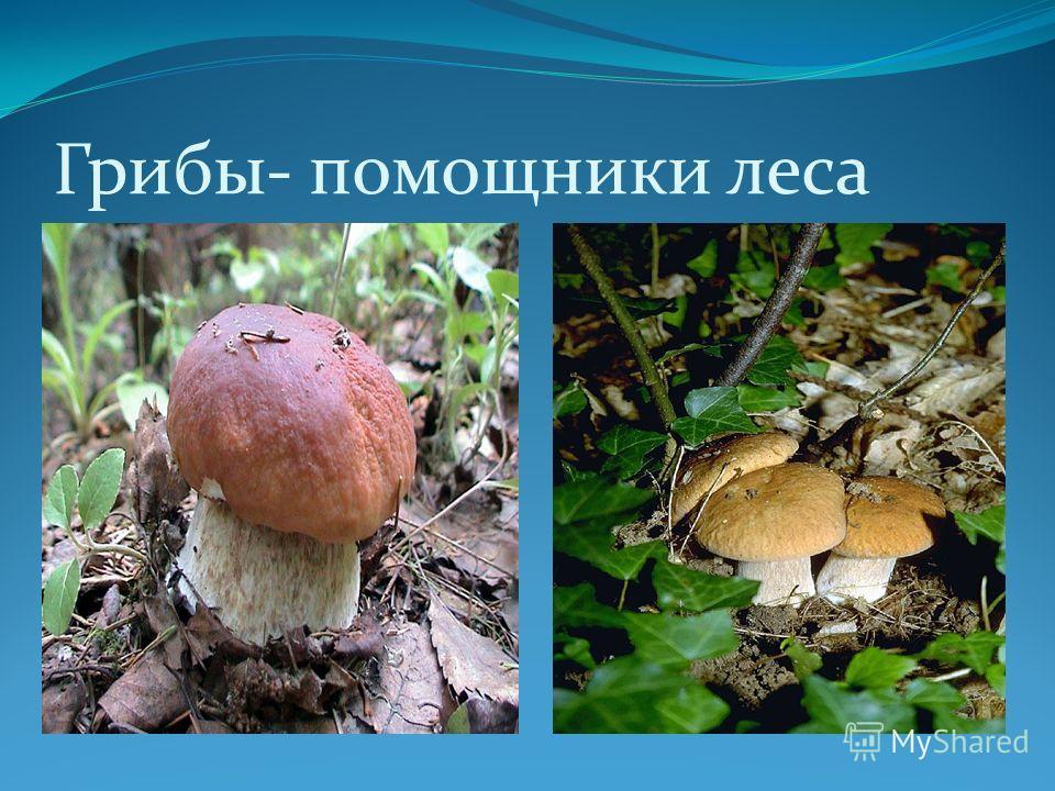 Грибы- помощники леса