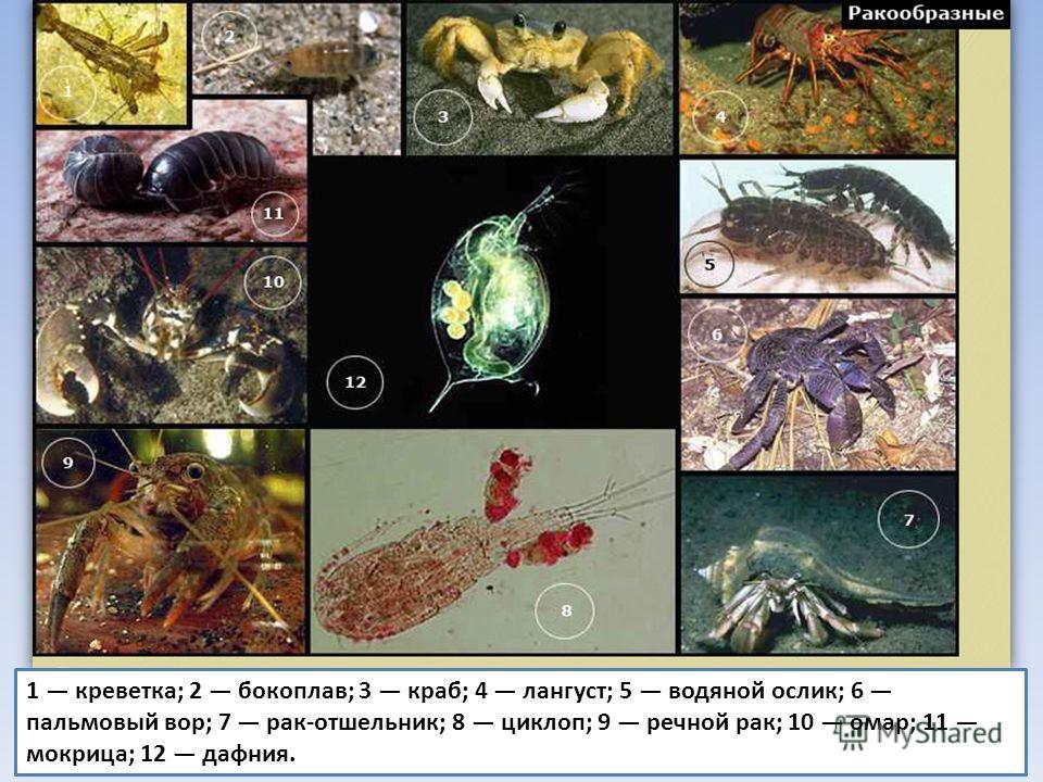 1 креветка; 2 бокоплав; 3 краб; 4 лангуст; 5 водяной ослик; 6 пальмовый вор; 7 рак-отшельник; 8 циклоп; 9 речной рак; 10 омар; 11 мокрица; 12 дафния.