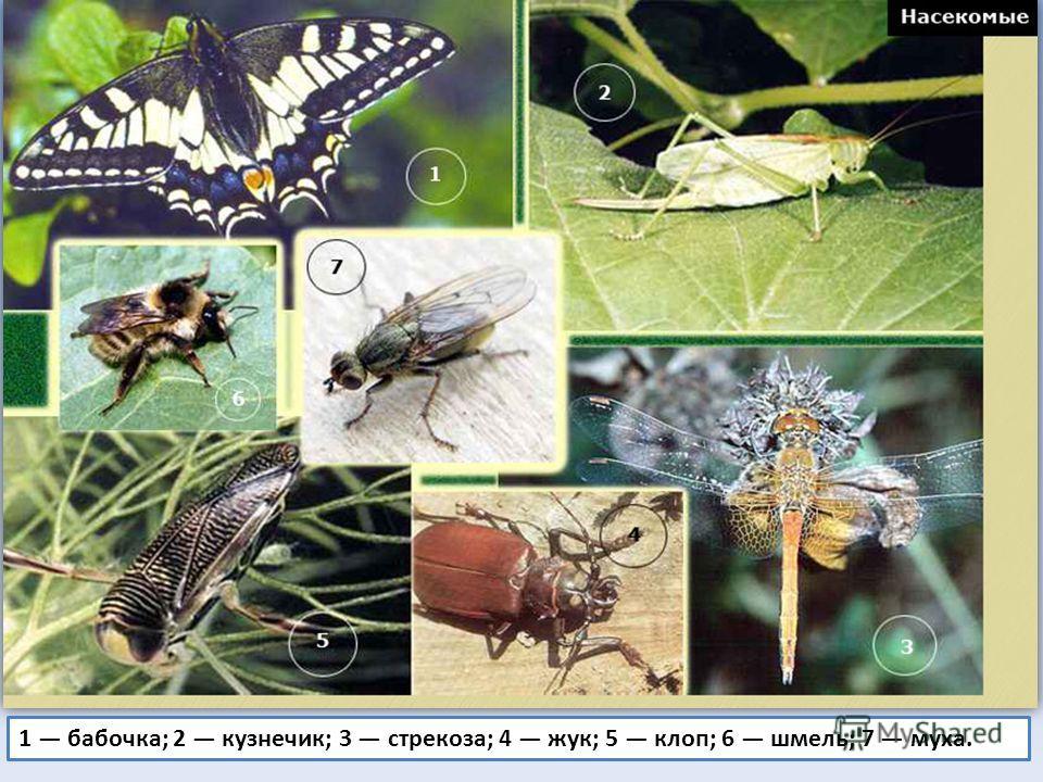 1 бабочка; 2 кузнечик; 3 стрекоза; 4 жук; 5 клоп; 6 шмель; 7 муха.
