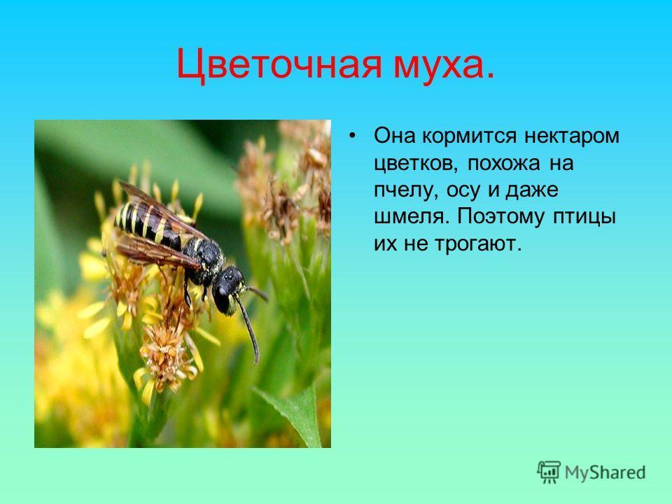 Цветочная муха. Она кормится нектаром цветков, похожа на пчелу, осу и даже шмеля. Поэтому птицы их не трогают.
