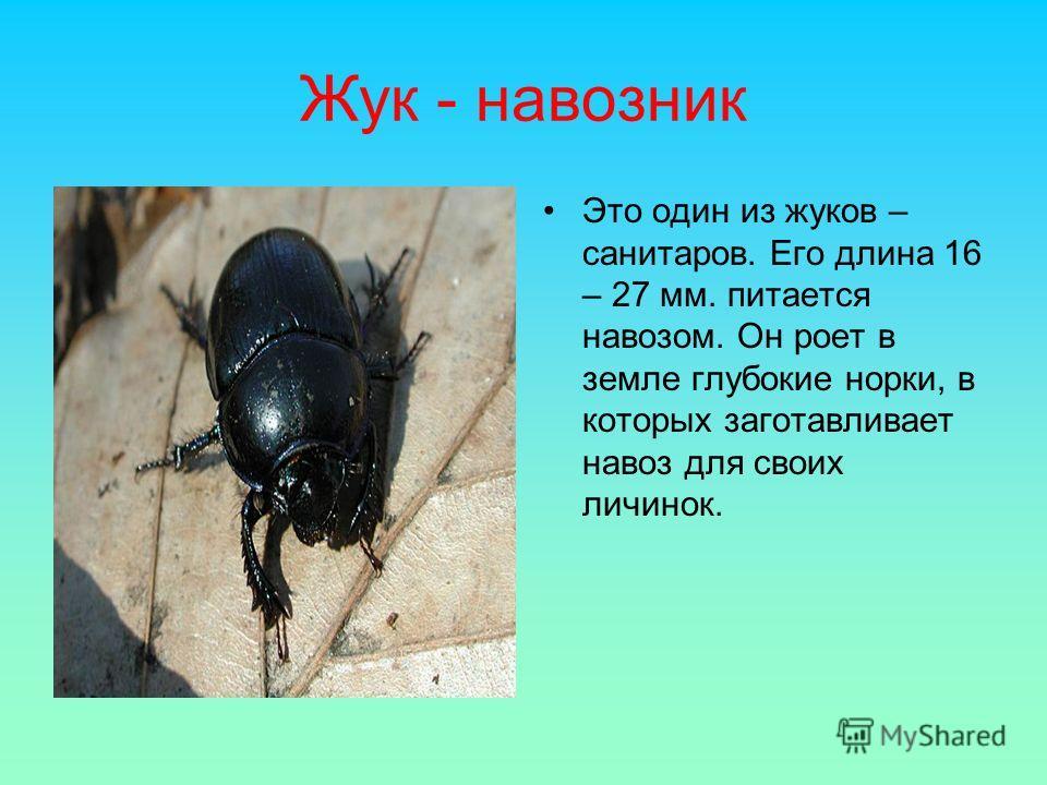 Жук - навозник Это один из жуков – санитаров. Его длина 16 – 27 мм. питается навозом. Он роет в земле глубокие норки, в которых заготавливает навоз для своих личинок.