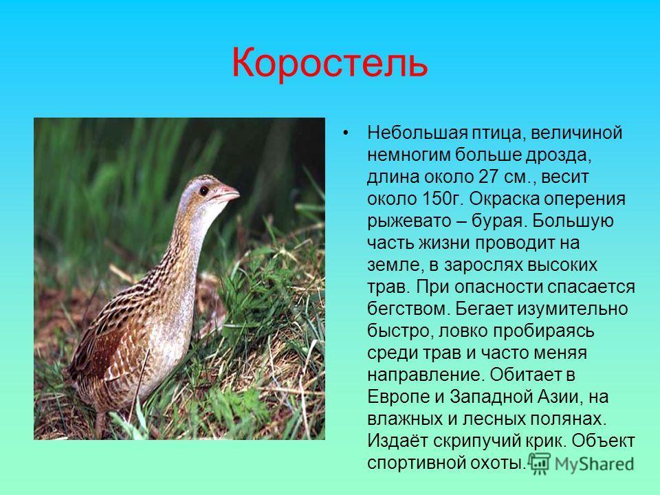 Коростель Небольшая птица, величиной немногим больше дрозда, длина около 27 см., весит около 150г. Окраска оперения рыжевато – бурая. Большую часть жизни проводит на земле, в зарослях высоких трав. При опасности спасается бегством. Бегает изумительно
