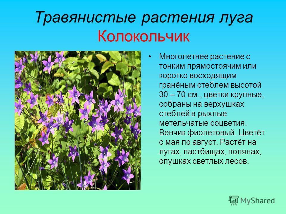 Травянистые растения луга Колокольчик Многолетнее растение с тонким прямостоячим или коротко восходящим гранёным стеблем высотой 30 – 70 см., цветки крупные, собраны на верхушках стеблей в рыхлые метельчатые соцветия. Венчик фиолетовый. Цветёт с мая